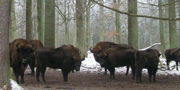 Национальный-парк-«Беловежская-пуща»
