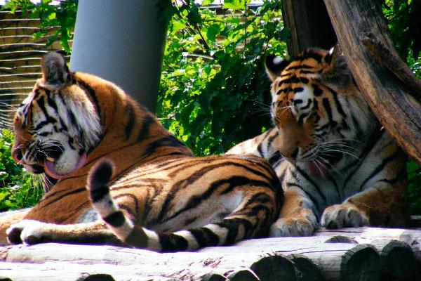 Тигры в зоопарке.