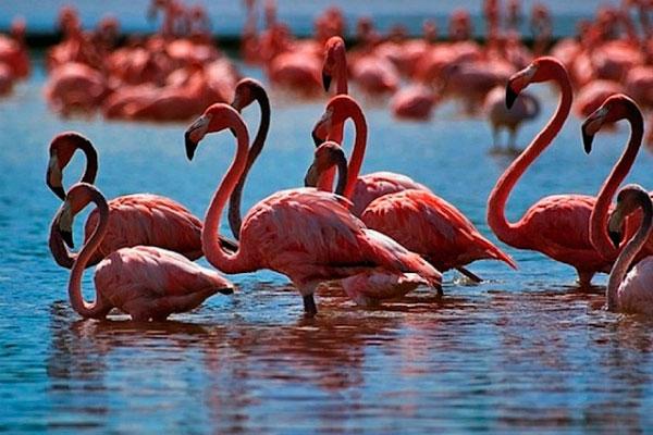 Фламинго в пруду.