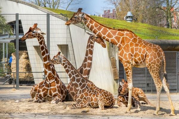 Жирафы в зоопарке.
