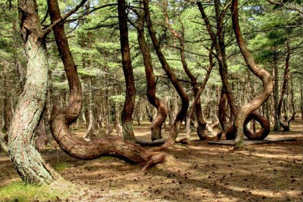 Пьяный лес в Калининграде.