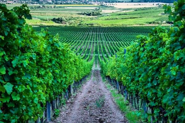 Поездка на виноградники.