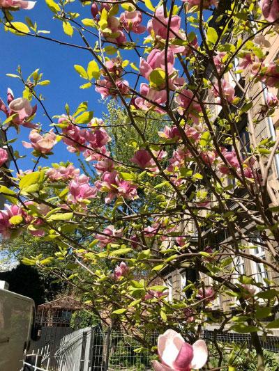 Цветущее дерево.