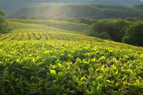 Чайная плантация.